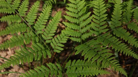 kapradina : branch of a fern sways in the wind