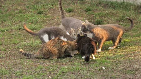 kotě : group of cats drinking milk from a one bowl on grass Dostupné videozáznamy