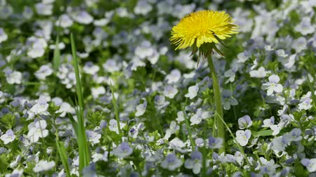 невозделанный : yellow dandelion among blue flowers on a sunny glade