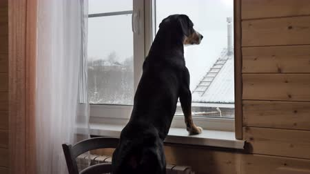 sill : Dog looking out of the window at home. Winter snowy day.