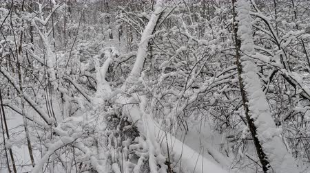 szron : Winter forest, trees covered with fresh snow after snow falling. Tranquil scene.