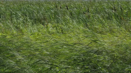 neobdělávaný : Summer Grass and Reeds Swaying with a strong wind Dostupné videozáznamy