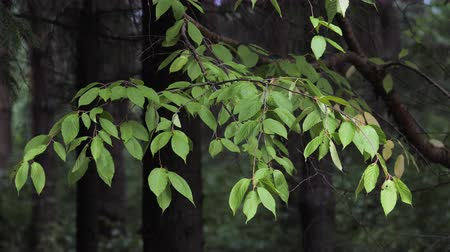 pień : Branch with green leaves in the summer forest.