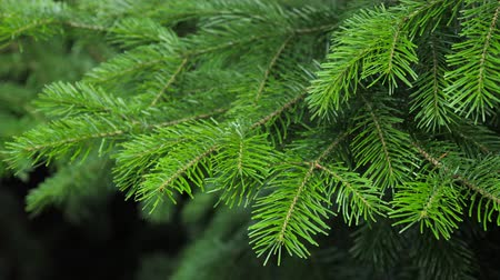 urge : Spruce tree branches in the wind.