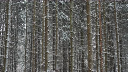 lucfenyő : Very strong and beautiful blizzard in the forest. Stock mozgókép