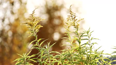 устойчивость : goldenrod grass in the wind Стоковые видеозаписи