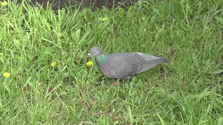 rock dove : Rock dove on the walk in spring morning