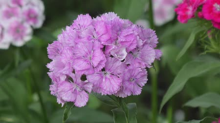 barbatus : Flower carnation Turkish (Dianthus barbatus) blossoms in spring morning.