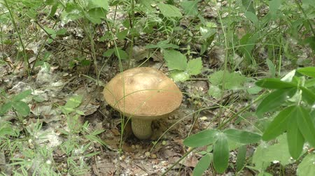 mycelium : Mushroom brown cap boletus in the forest Stock Footage