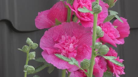 mallow : Flower Malva double pink color blooms in the summer garden Stock Footage