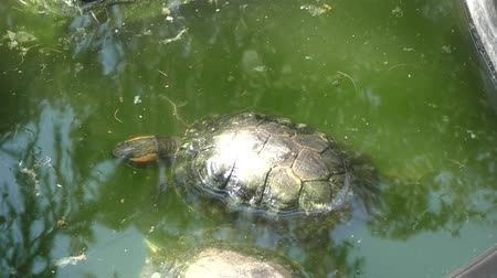 scripta : Freshwater tortoise (LAT. Trachemys scripta) on a summer day Stock Footage