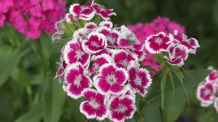 barbatus : Flower carnation Turkish (Dianthus barbatus) blossoms in spring morning