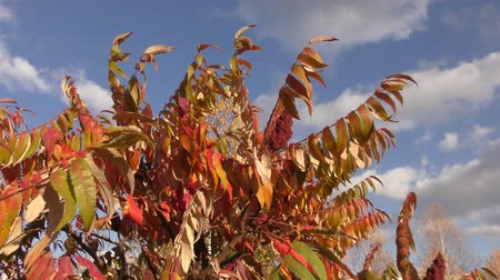 zöld levél : Autumn leaves tree sumac (LAT. Rhus typhina) swinging in the wind