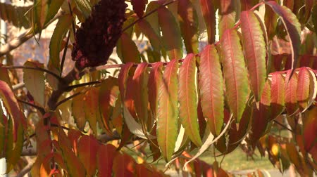 opadavý : Autumn leaves tree sumac (LAT. Rhus typhina) swinging in the wind