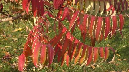 rhus typhina : Autumn leaves tree sumac (LAT. Rhus typhina) swinging in the wind