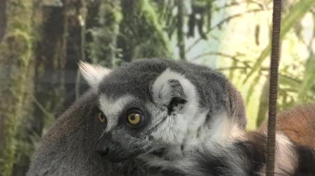 grey eyes : Ring-tailed lemur or lemur, or Katta (LAT., Lemur catta), inhabits the islands of Madagascar Stock Footage
