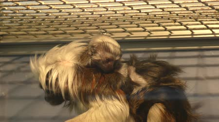 omnivore : Oedipus Tamarin Little Monkey kind of tamarins with cub Stock Footage
