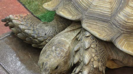 eat : African spurred tortoise lunching (LVL .Geochelone sulcata)