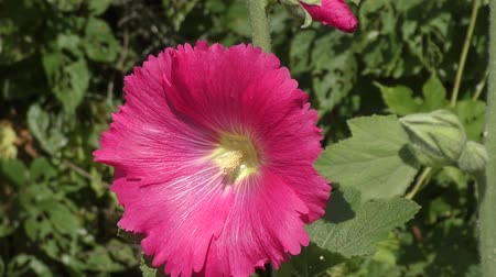 mallow : Malva pink in spring day Stock Footage