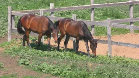 yele : Horses at the farm in spring time Stok Video
