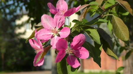caranguejo : Pink flowers of the Apple-tree