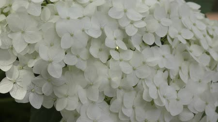 hortensia : White hydrangea flowers in the summer garden