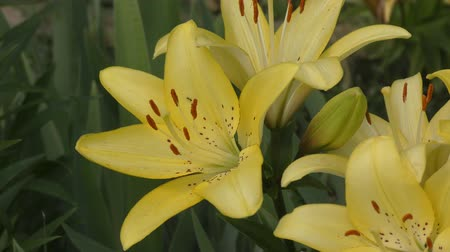 mosqueado : Garden Lily yellow In the flecked in summer