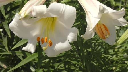 тычинка : Garden lily white in the summer garden