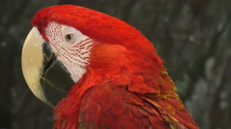 ara : Red Parrot ARA genus of the bird in the Psittacidae family
