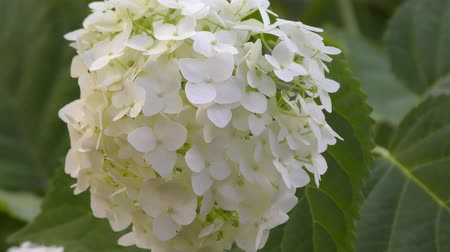 hortênsia : White hydrangea flowers in the summer garden