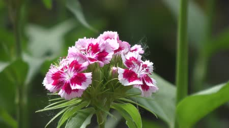 szegfű : Flower carnation Turkish (Dianthus barbatus) blossoms in spring morning