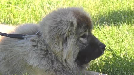 çoban köpeği : Dog breed Caucasian Shepherd on the walk Stok Video