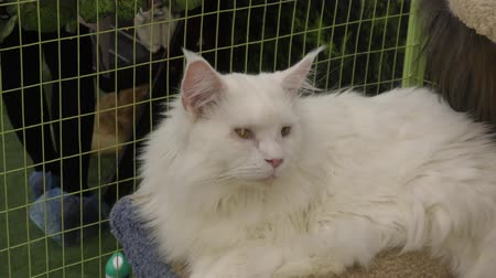 кошачий : Kitten breeds maine coon white color Стоковые видеозаписи