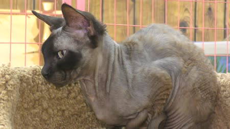 mytický : Sphynx cat breeds from Egypt