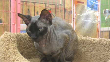 esfinge : Sphynx cat breeds from Egypt