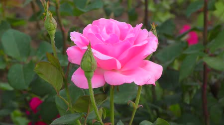 розы : Rose pink in the summer garden