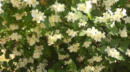 yasemin : Jasmine flowers white in the summer garden