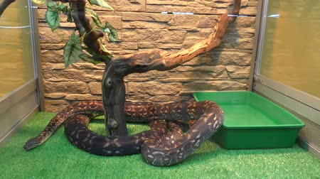 boa : Woody Madagascar BOA this is not a poisonous snake, endemic to Madagascar