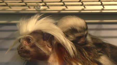 когти : Oedipus Tamarin Little Monkey kind of tamarins