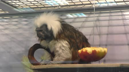 endangered species : Oedipus Tamarin Little Monkey kind of tamarins