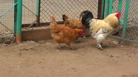 bantam : Rooster and chickens Stock Footage