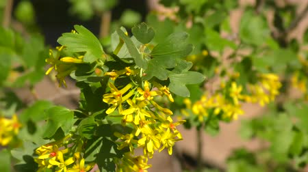 смородина : Yellow flowers of black currant