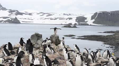 rookery : Chinstrap penguins on the nest Stock Footage