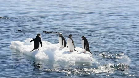 chinstrap : Chinstrap penguins on the ice