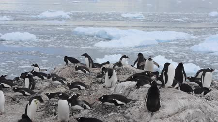 chinstrap : Chinstrap penguins on the nest Stock Footage