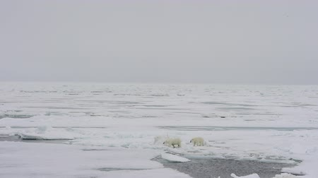 полярный : Polar bear walking on sea ice Стоковые видеозаписи