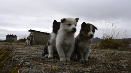 щенок : Husky puppies Greenland hill.