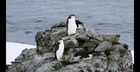 rookery : Chinstrap Penguins on the nest