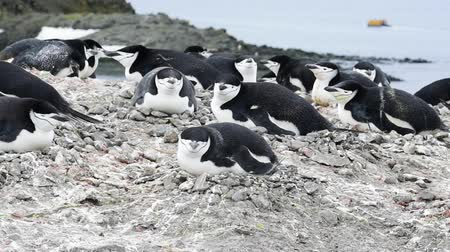 Антарктика : Chinstrap Penguins on the nest