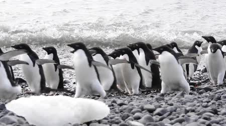 Антарктика : Adelie Penguins on the beach